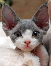 kitty big ears