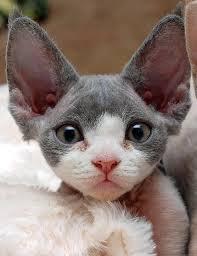 kitty big ears
